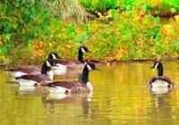 Serenade to the Canada Goose