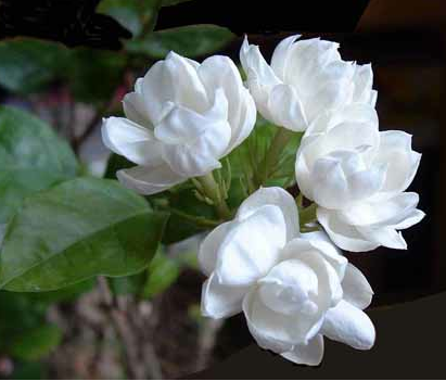 p-2077-JasmineFlowerBlossoms.png